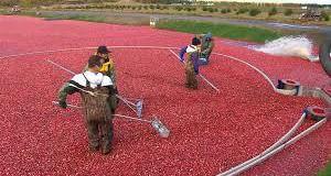 Канадский Квебек хвастается рекордным сбором урожая клюквы